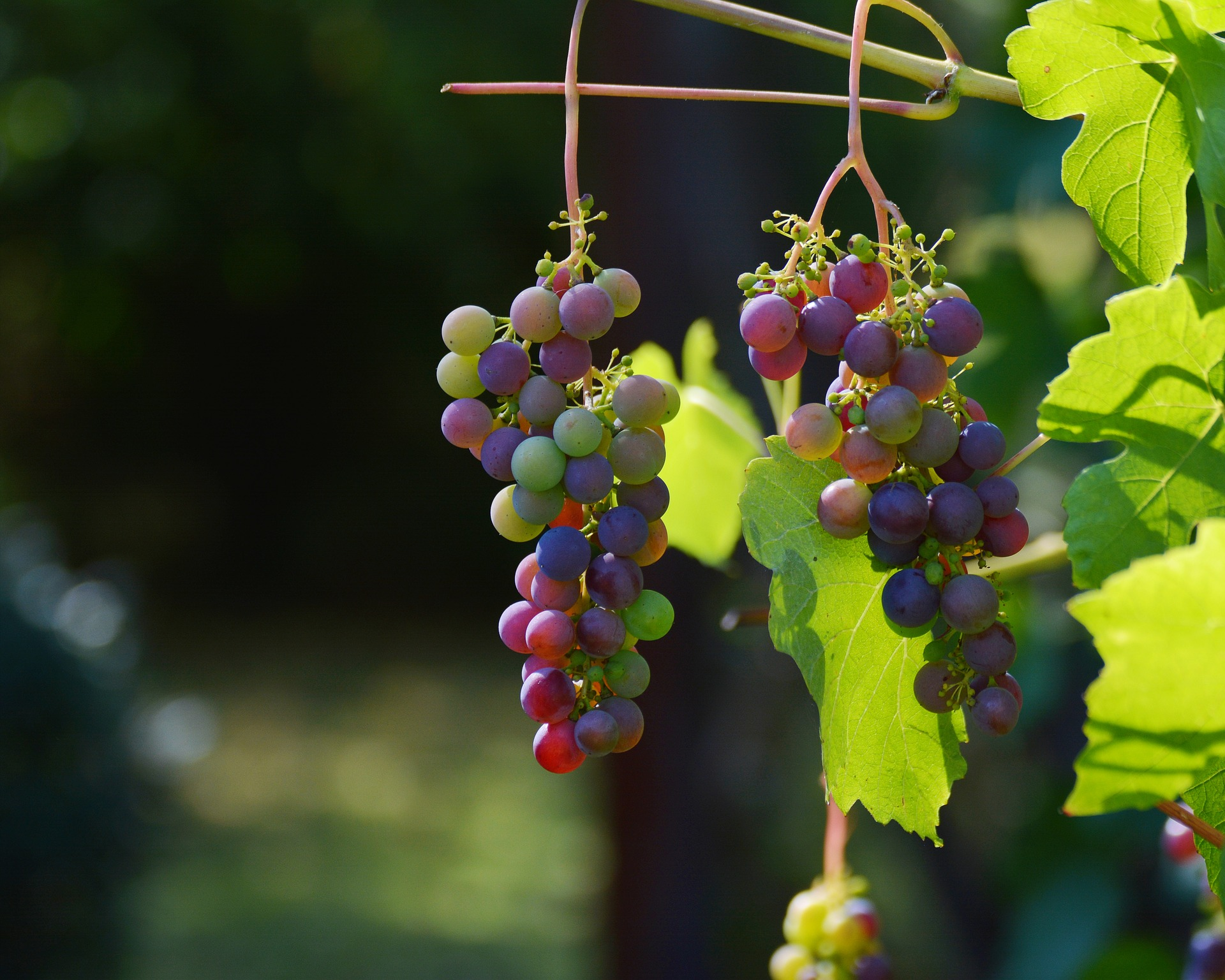 grapes-1659118_1920
