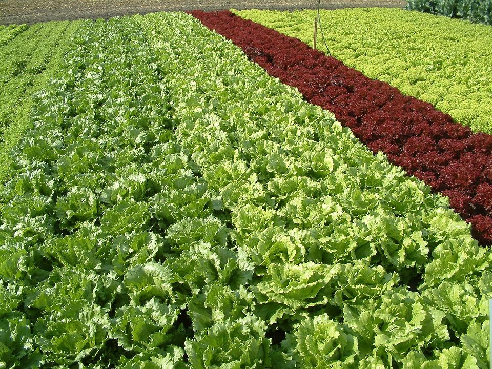 plantação de orgânicos