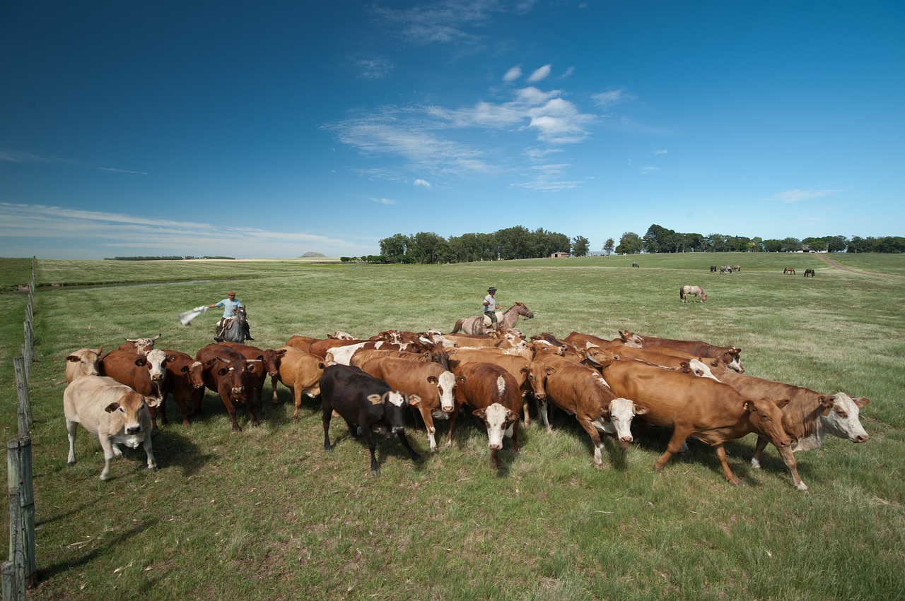 cattle-1600877_1280
