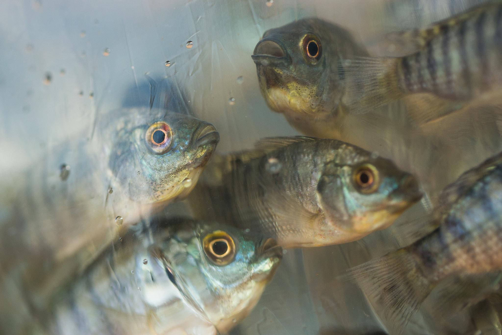 tilápia, piscicultura, peixe, alevino