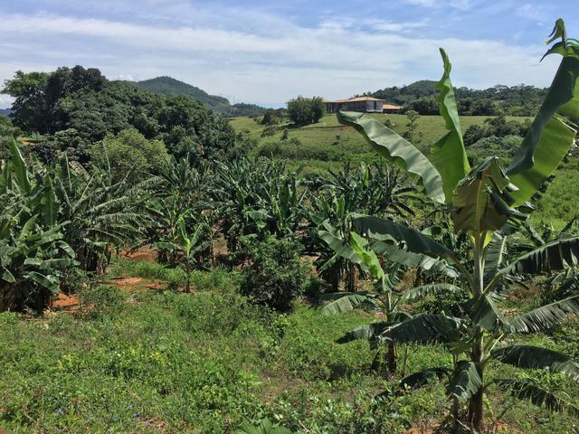 banana iguape