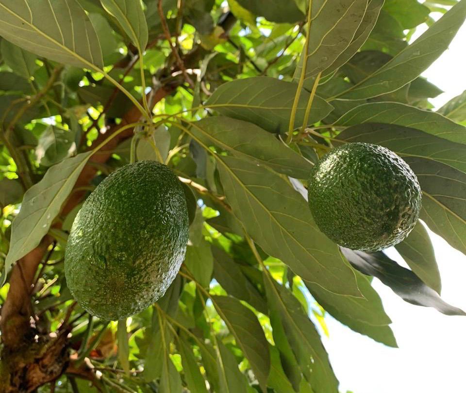 pé de abacateiro para polinização do abacate