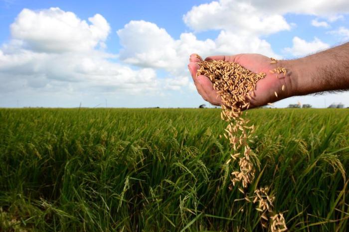 colheitaarroz