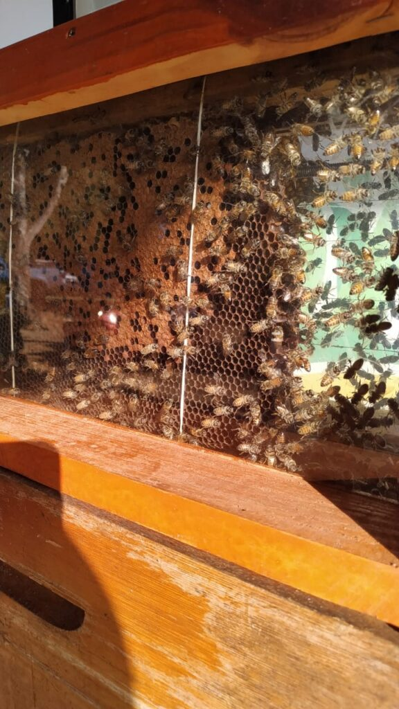 abelhas africanizadas em pomares de avocado