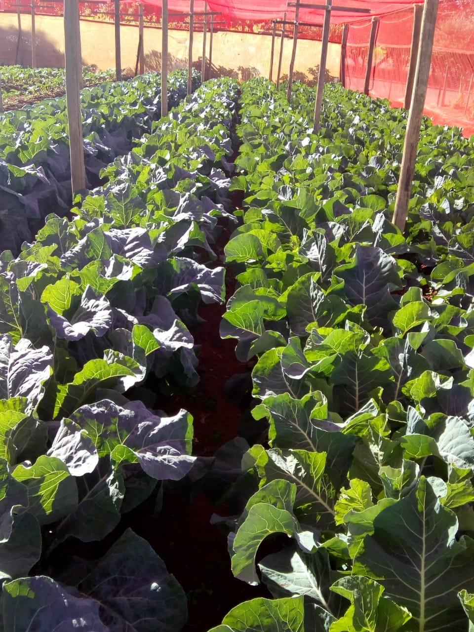 horta urbana orgânica