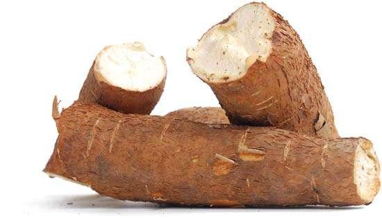 raíz pronta para processamento de mandioca