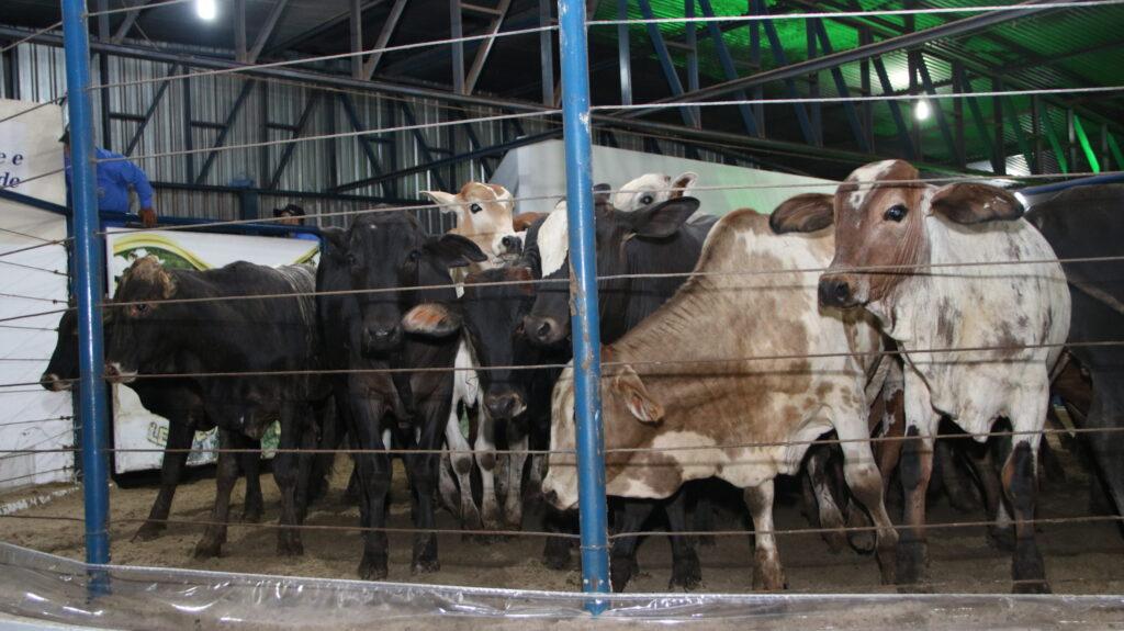 leilões virtuais gado de corte