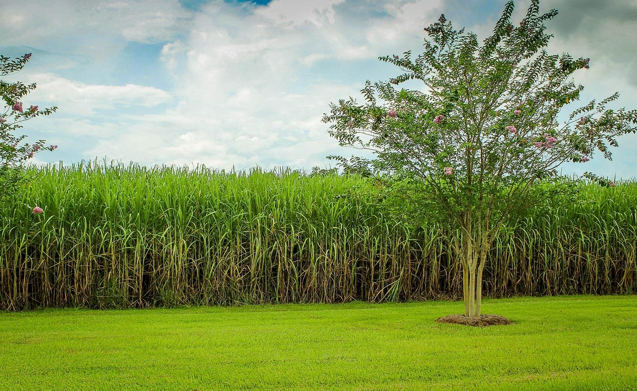plantação cana-de-açucar
