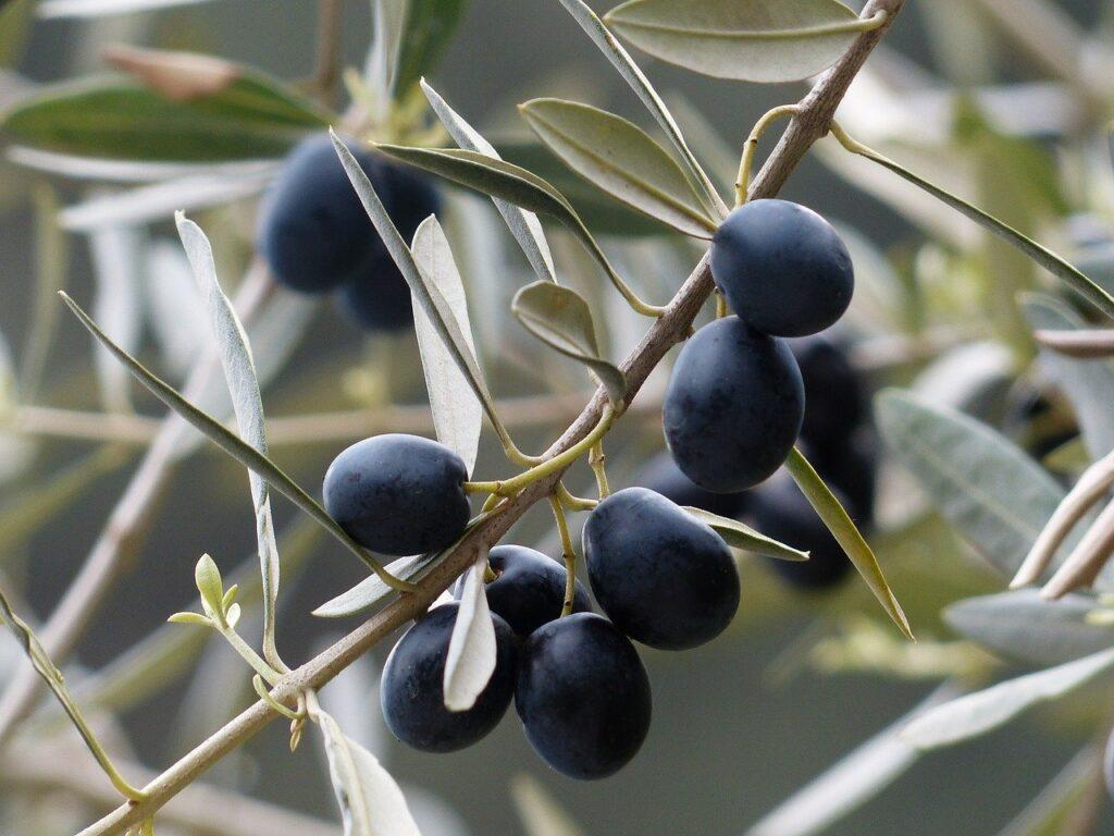 Azeitonas pretas em ramos de oliveira verde escuro