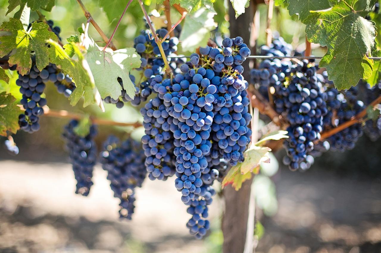 tecnica-rural-produco-de-vinho