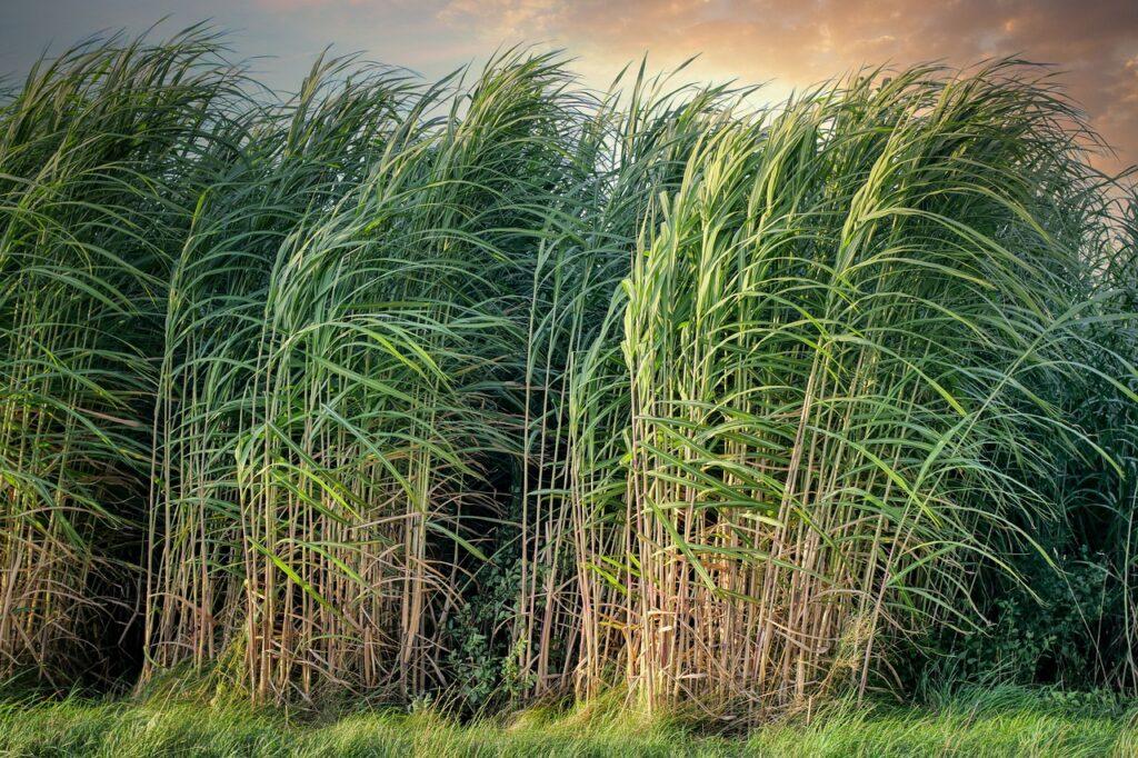 Cana-de-açúcar em área de arrendamento