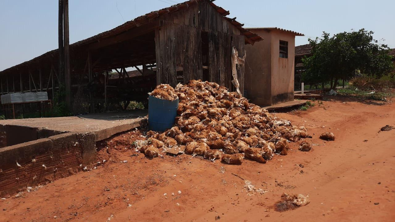 Frangos mortos em granja de Barretos