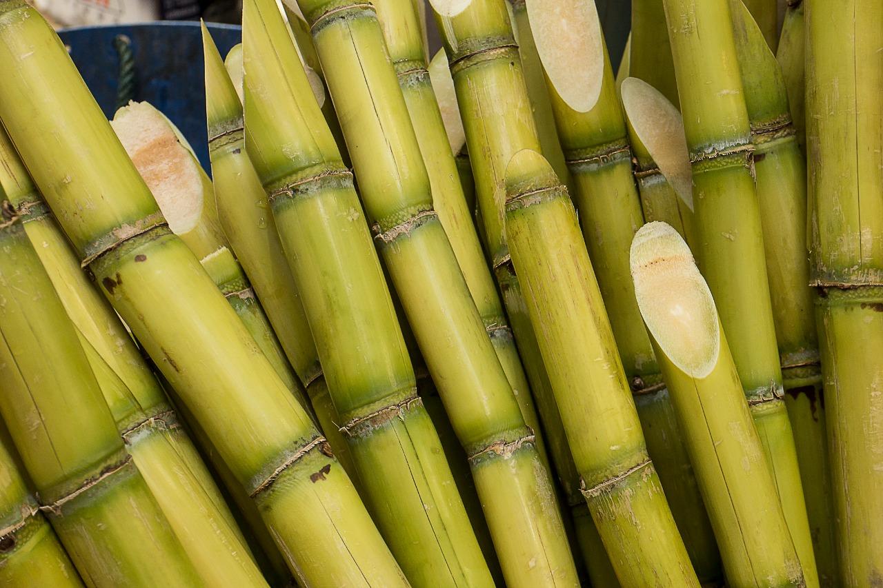 Produção de cana com bambus cortados