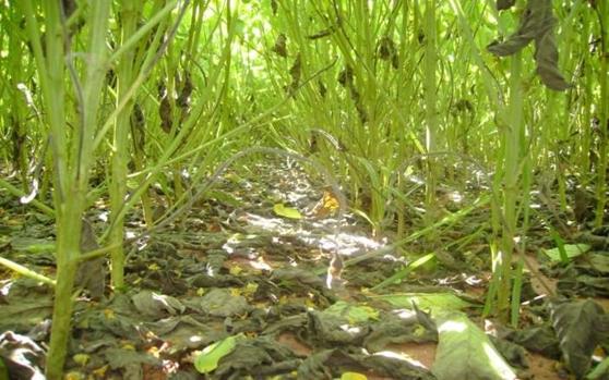 adubacao-verde-nuporanga