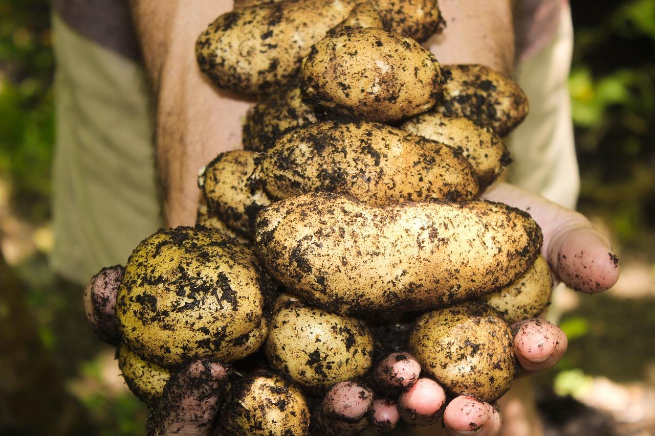 batata-organica-tecnica-rural