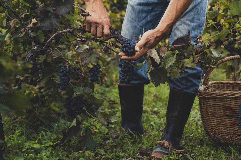 Produtores de uvas e vinhos devem se cadastrar até maio em novo sistema do Mapa