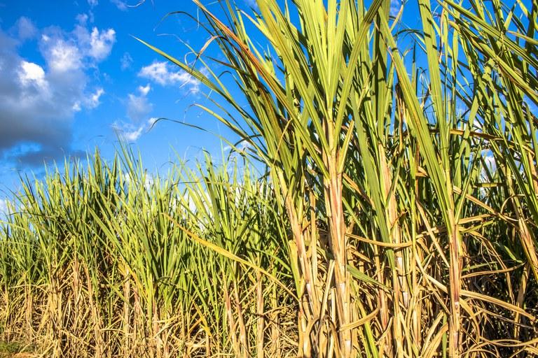 Safra de cana-de-açúcar deve chegar a 665,1 milhões de toneladas