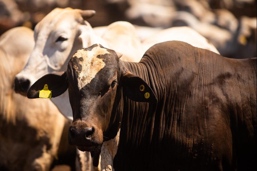 Carrapato do bovino: saiba o que é preciso para um controle efetivo do parasita no rebanho leiteiro