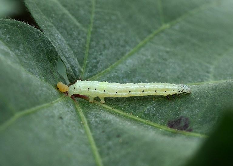 Novo bioinseticida da Embrapa combate pragas nas lavouras de soja, milho e algodão