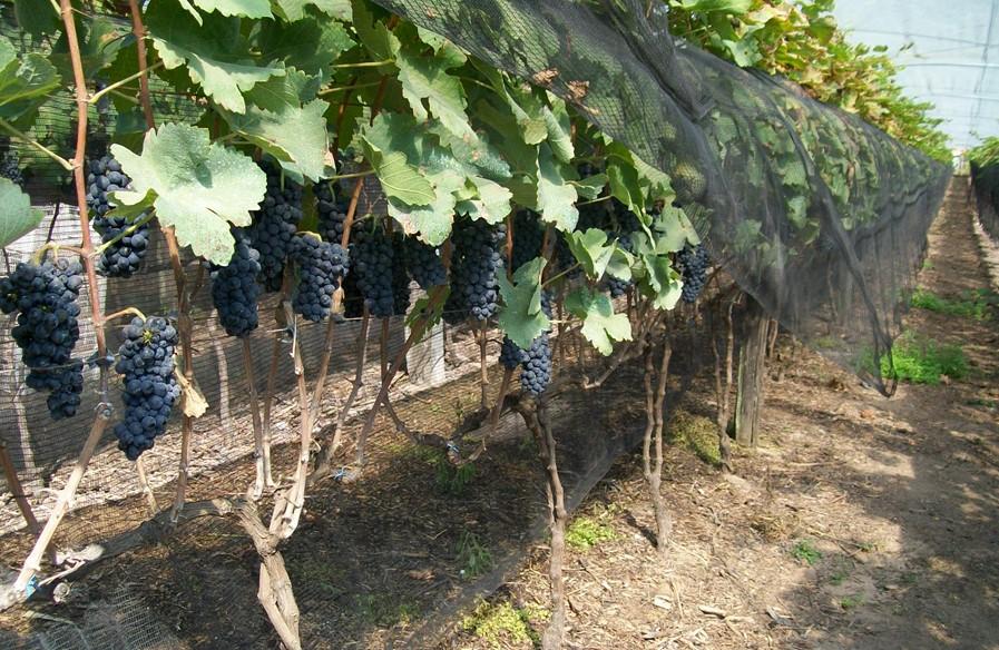 IAC viabiliza cultivo de uva para produção de vinhos finos nas condições paulistas