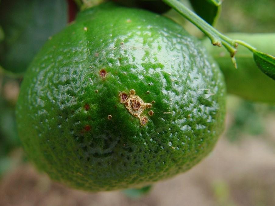 Fungicidas para controle de doença em tangerinas perdem eficácia em São Paulo