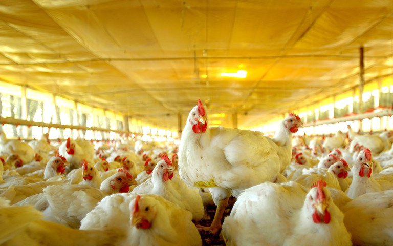 Consulta pública sobre funcionamento de granjas avícolas e beneficiamento de ovos vai até 14 de março