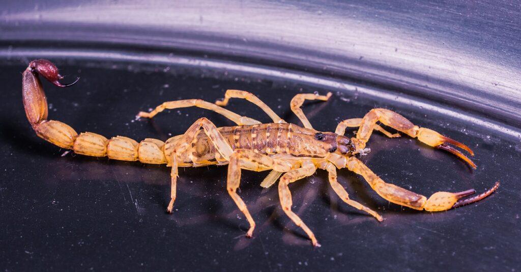 4 dicas para livrar sua propriedade de escorpiões