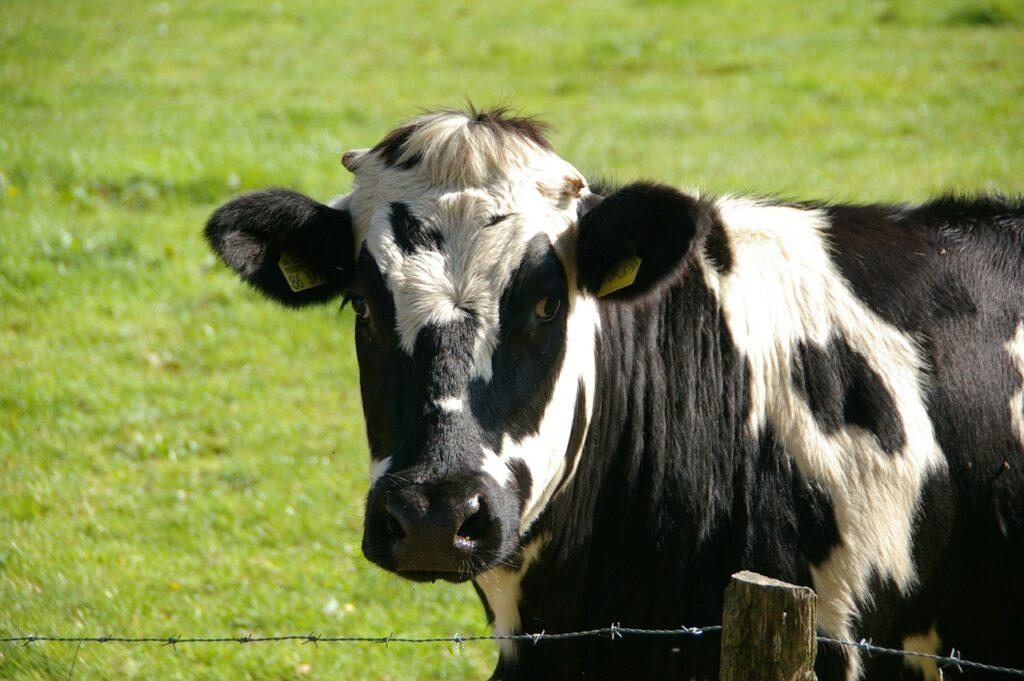 Conheça as melhores raças de bovinos para produção de leite no Brasil