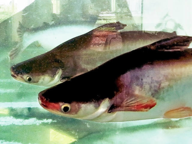 Peixe-panga é aposta para produtor familiar em São Paulo