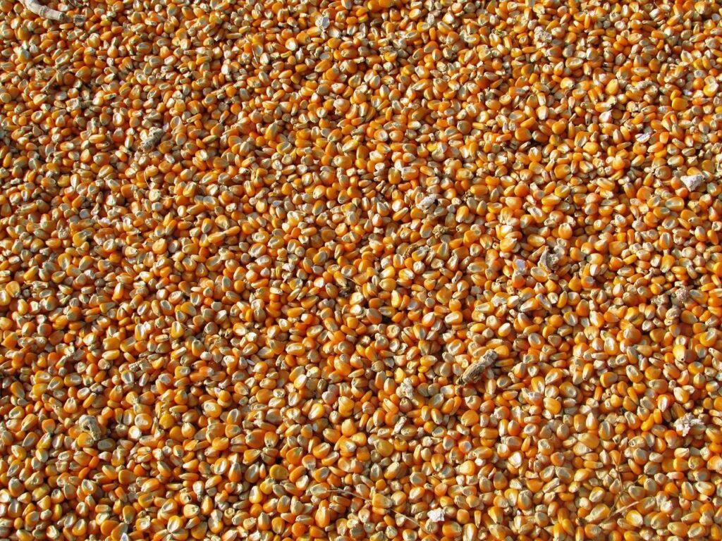 Com preço dos grãos elevados, fazer ração na propriedade pode ser seguro e barato