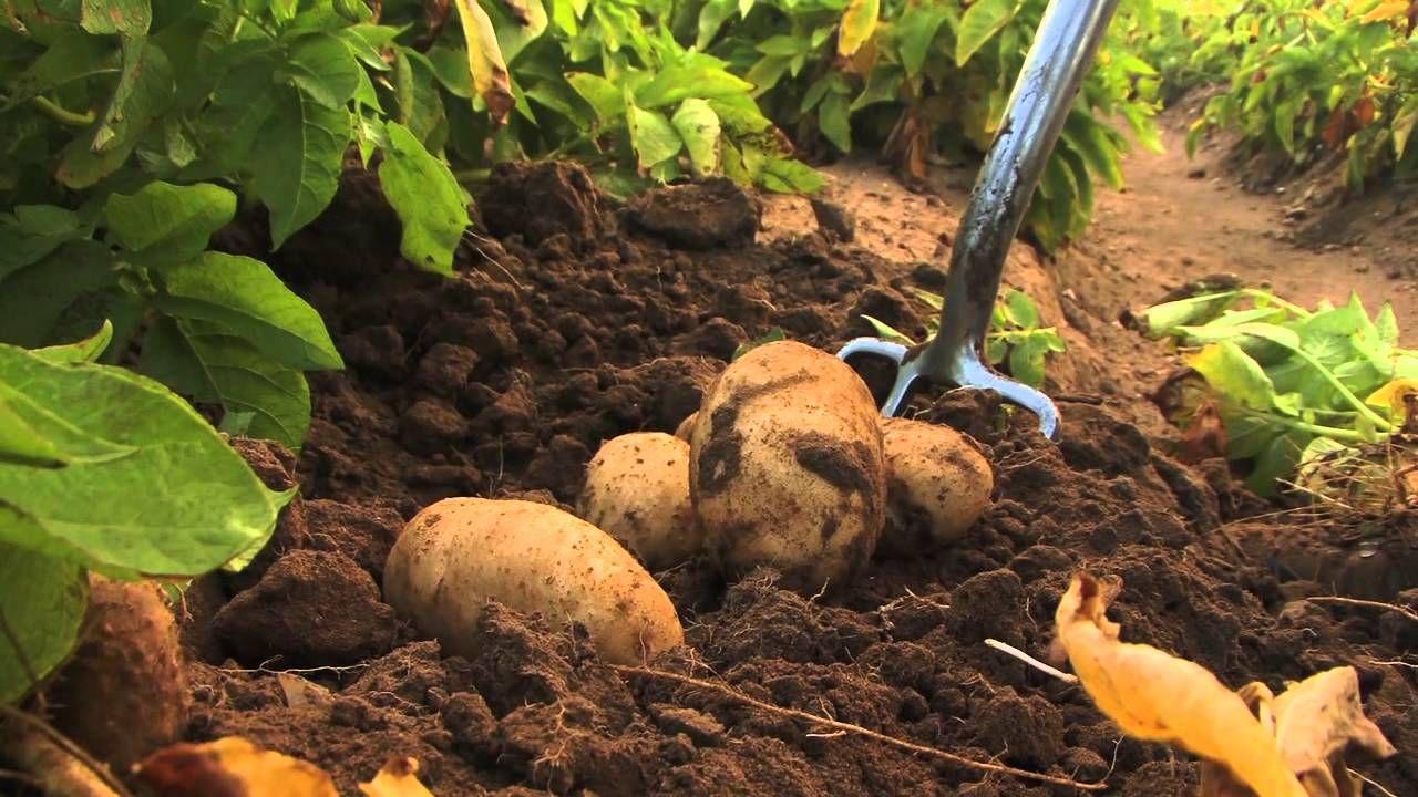SENAR-SP: curso de batata orgânica impulsiona produtores no mercado