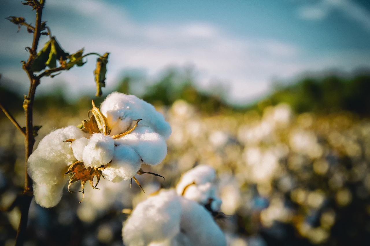 Lavoura de algodão continua competitiva em algumas regiões de São Paulo