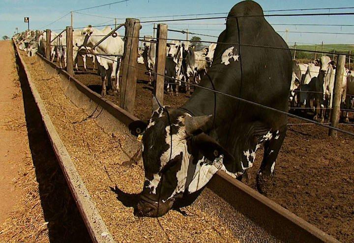 Com altos custos da ração, produtores de leite buscam alternativas para manter atividades