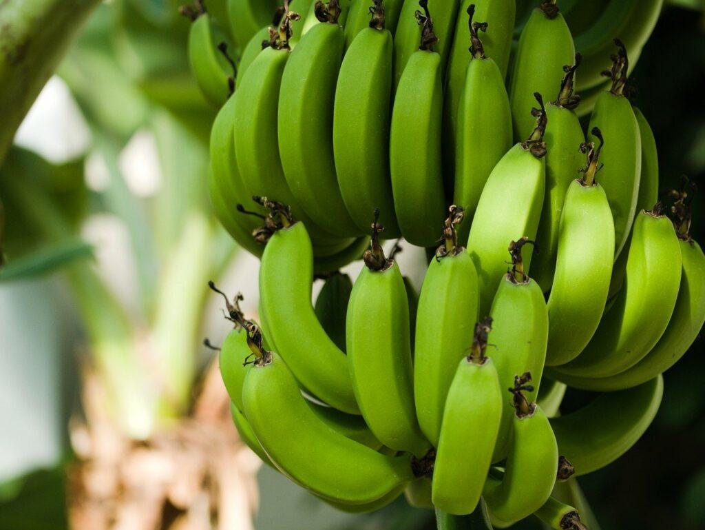 4 vantagens de fazer o curso de processamento artesanal de banana verde do SENAR-SP