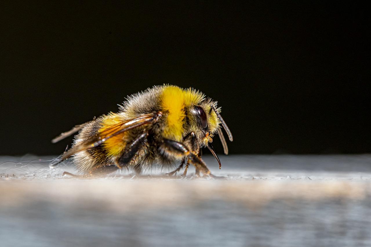 Apicultura: entenda como acontece a substituição da abelha-rainha na colmeia