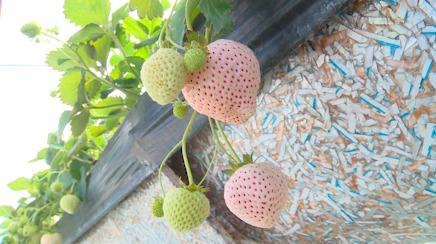 Com sabor mais adocicado, morango branco é aposta de produtor em Atibaia