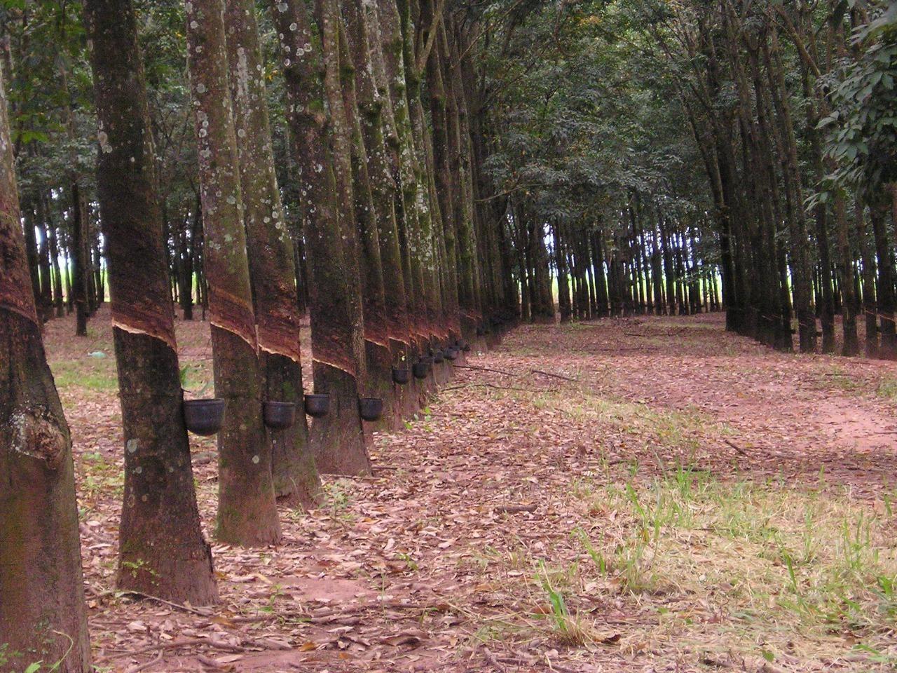 São Paulo publica nova legislação para produção de mudas de seringueira