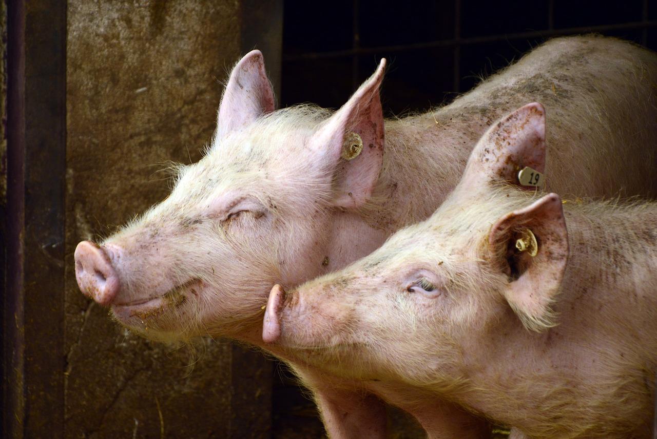 Bem-estar animal: 9 dicas para o manejo de suínos