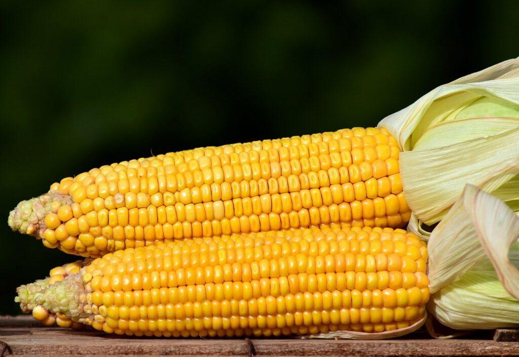 Preço do milho sofre baixa de 1,26%, informa Cepea/Esalq