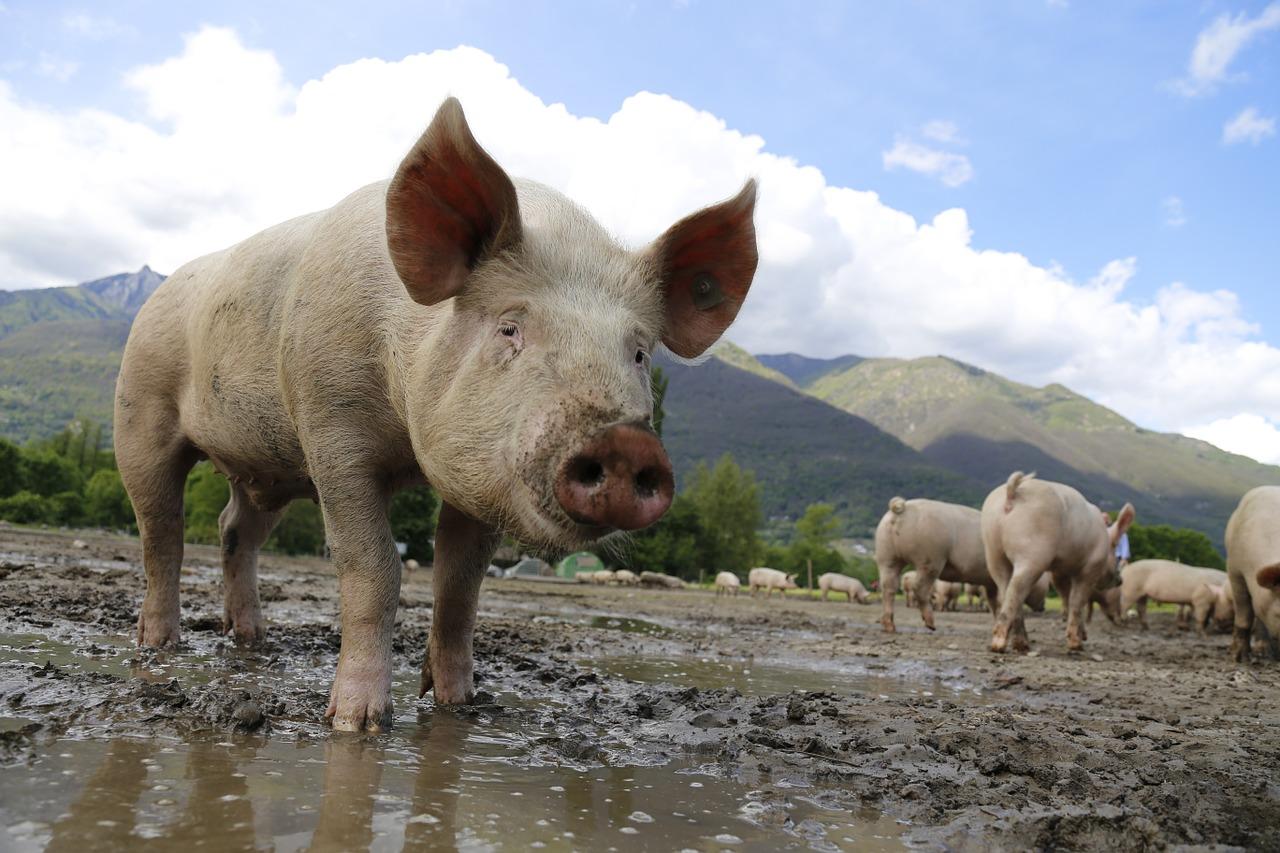 Conheça 4 doenças que mais atingem suínos