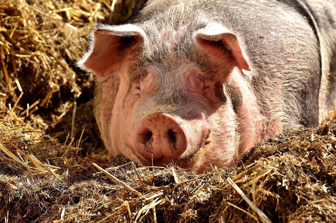 Conheça 5 opções para alimentação de suínos