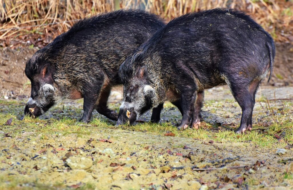 Entenda a diferença entre caça e controle populacional de javalis