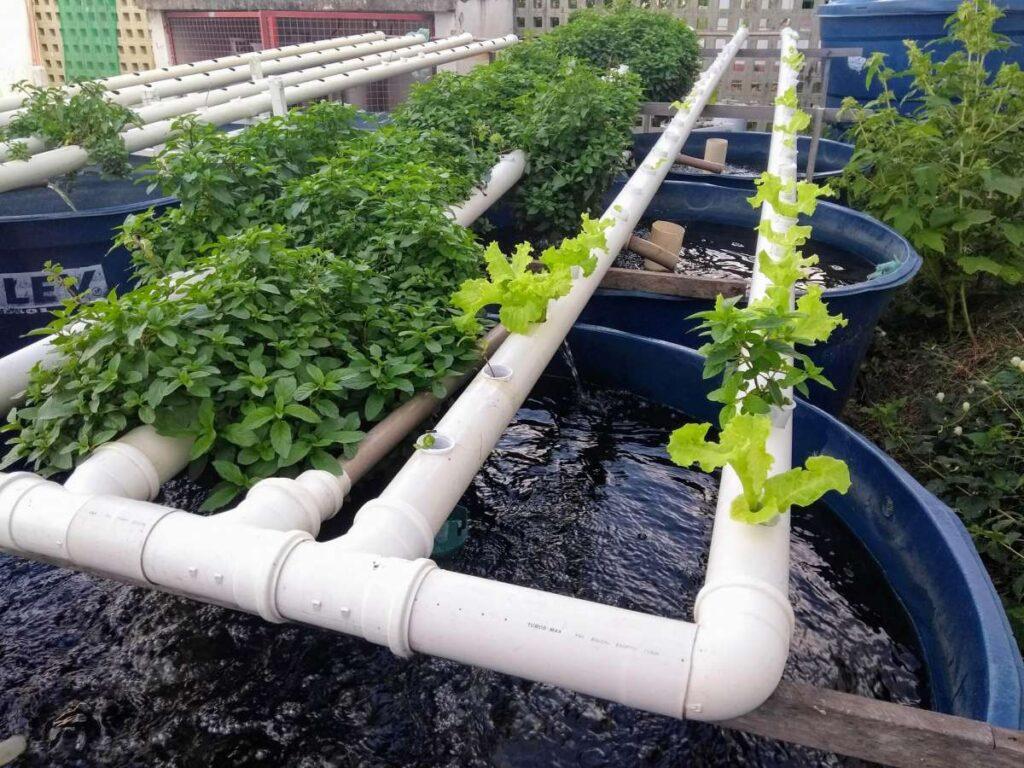 Veja como montar um sistema de aquaponia